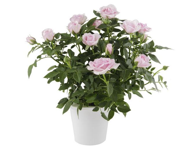 rosal3 gr - Podziel się kwiatami